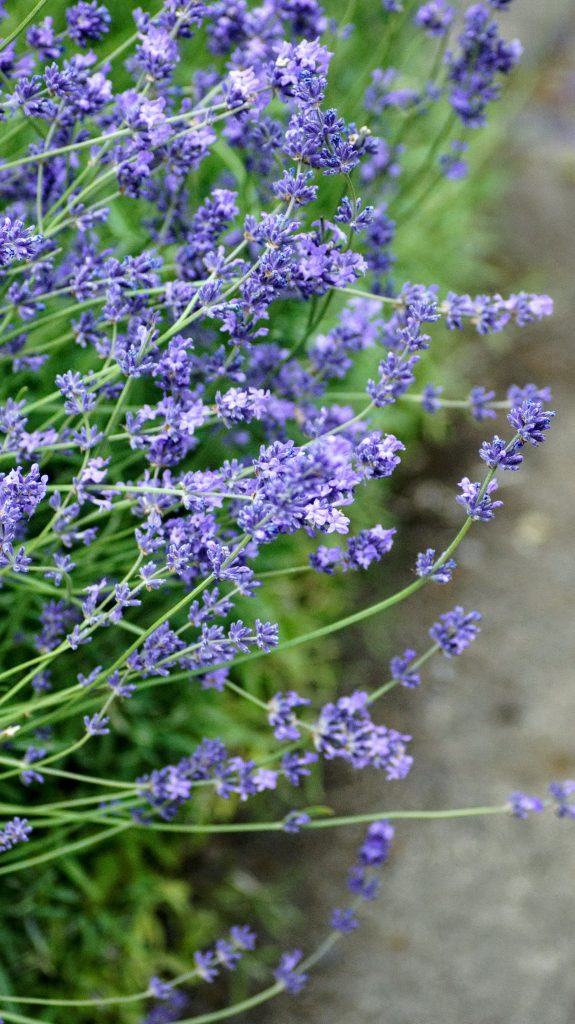 lavender, flowers